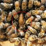ミツバチの社会は、女王バチを中心とした役割分担の社会