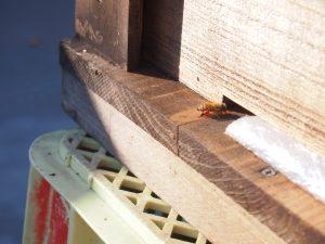 後ろ足に花粉だんごをつけて巣に戻ってきた外勤バチ