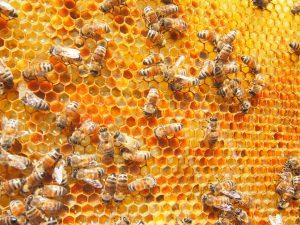 花粉がたっぷり貯まった巣枠