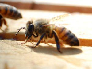 可愛いミツバチ
